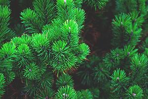 terpenes in cannabis pinene